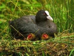 nesting mama coot